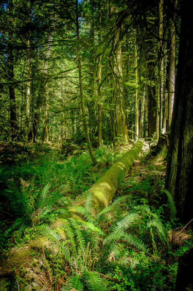Photograph - Forest Of Cathedral Grove Collection 5 by Roxy Hurtubise