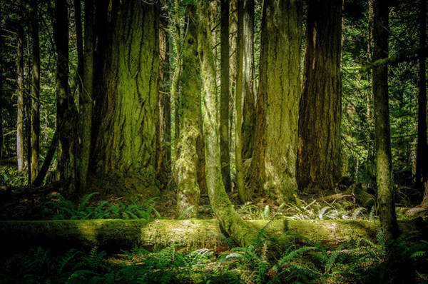 Photograph - Forest Of Cathedral Grove Collection 6 by Roxy Hurtubise