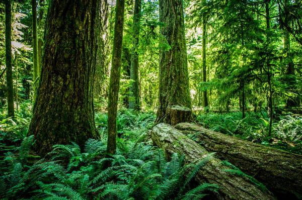 Photograph - Forest Of Cathedral Grove Collection 8 by Roxy Hurtubise