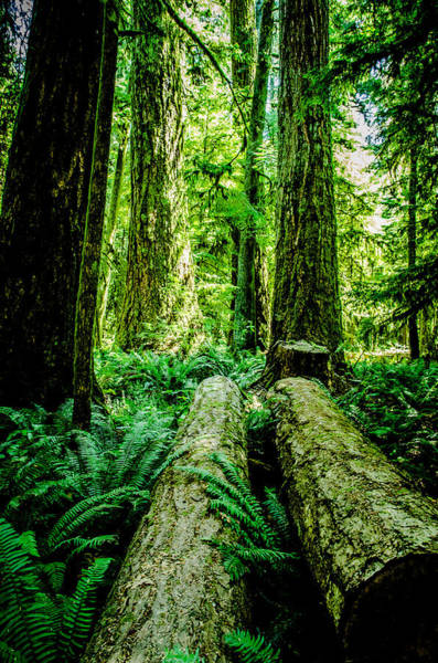 Photograph - Forest Of Cathedral Grove Collection 9 by Roxy Hurtubise