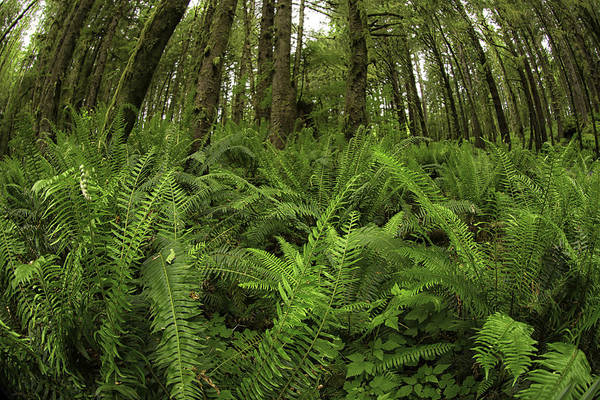 Photograph - Forest Of Fern by Sara Hudock