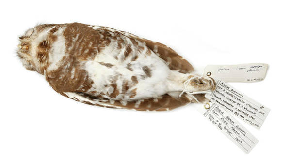 Stuffed Animal Photograph - Forest Owl by Natural History Museum, London/science Photo Library