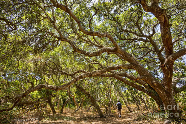 Coast Live Oak Photograph - Forest Stroll - The Magical And Mysterious Trees Of The Los Osos Oak Reserve. by Jamie Pham