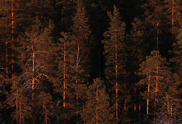 Boreal Forest Photograph - Forest Sunset, Russia by Peter Essick