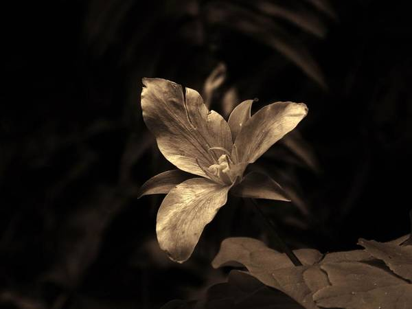 Photograph - Forest Trillium by Charles Lucas