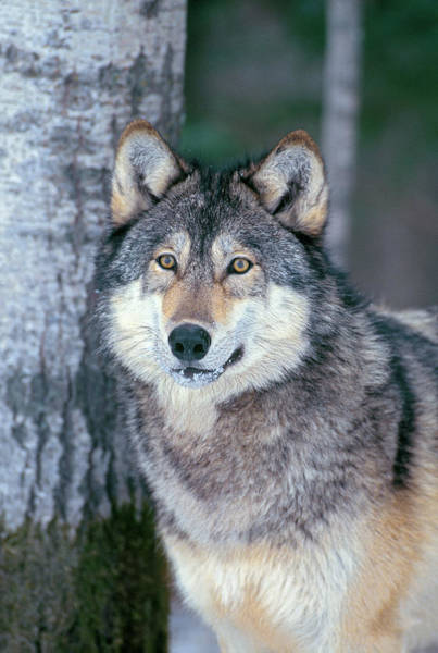 Photograph - Forest Wolf by D Robert Franz
