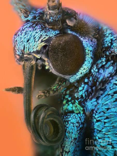 Photograph - Forester Moth Portrait by Matthias Lenke