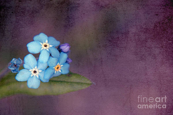 Forget Me Not Photograph - Forget Me Not 02 - S0304bt02b by Variance Collections