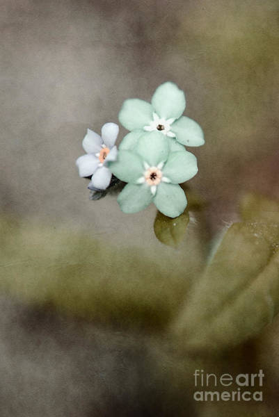Forget Me Not Photograph - Forget Me Not 03 - S07bt07 by Variance Collections