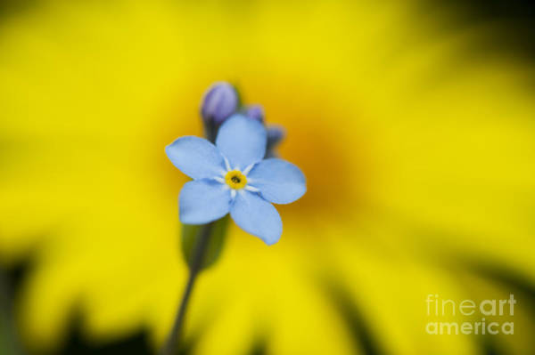 Forget Me Not Photograph - Forget Me Not Flower by Tim Gainey