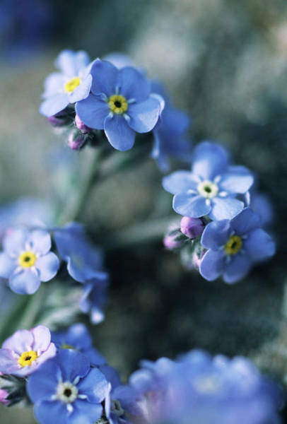 Forget Me Not Photograph - Forget-me-not Flowers by Mauro Fermariello/science Photo Library