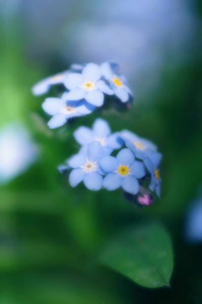 Forget Me Not Photograph - Forget-me-not (myosotis Arvensis) by Maria Mosolova/science Photo Library