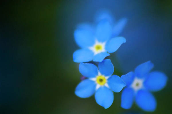 Forget Me Not Photograph - Forget-me-not (myosotis Scorpioides) by Maria Mosolova/science Photo Library