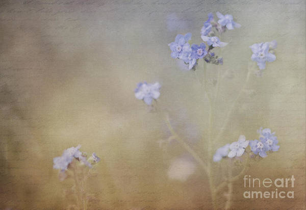 Photograph - Forget-me-not by Pam  Holdsworth