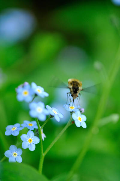 Bee On Flower Wall Art - Photograph - Forget-me-not With Bee by Myu-myu