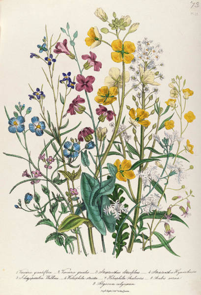 Forget Me Not Photograph - Forget-me-nots And Buttercups, Plate 13 From The Ladies Flower Garden, Published 1842 Colour Litho by Jane Loudon