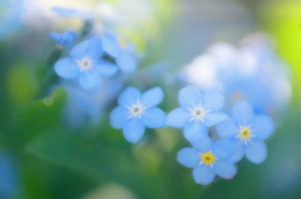 Forget Me Not Photograph - Forget-me-nots (myosotis Arvensis) by Maria Mosolova/science Photo Library