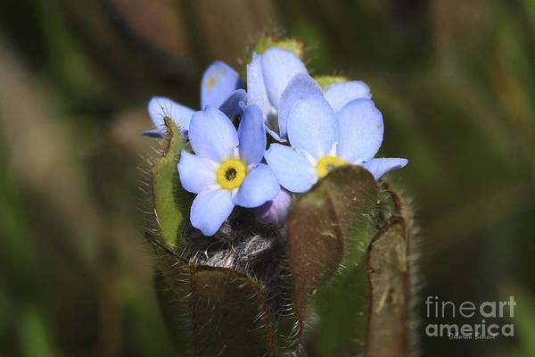 Photograph - Forget Me Nots Springtime by Deborah Benoit