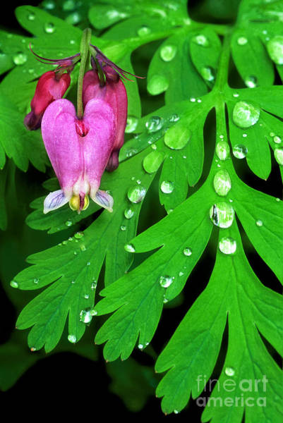 Photograph - Formosa Bleeding Heart On Ferns by Dave Welling