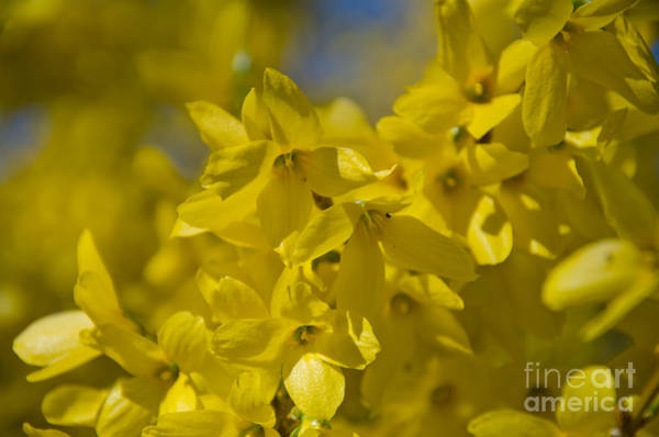Photograph - Forsythia by Laurel Best