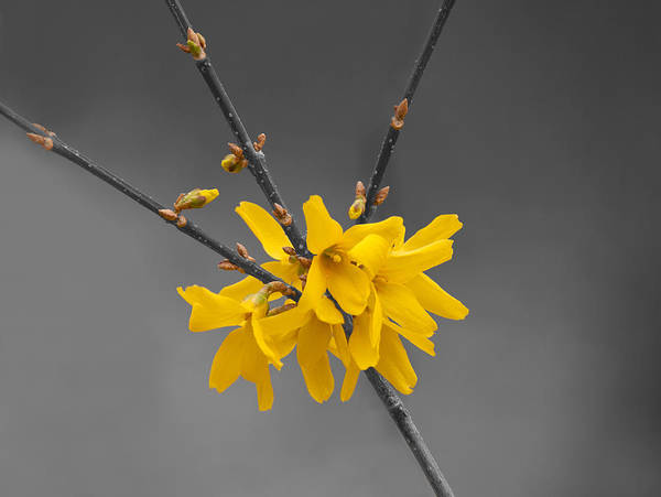 Photograph - Forsythia On Black And White by Lara Ellis