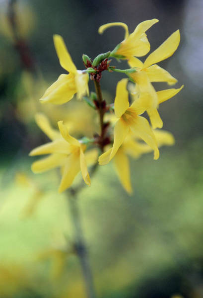 Forsythia Photograph - Forsythia by Rachel Warne/science Photo Library