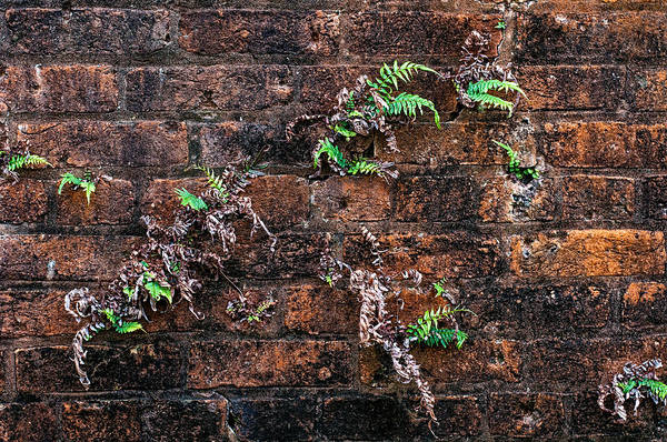 Photograph - Fort Macomb Ferns by Andy Crawford