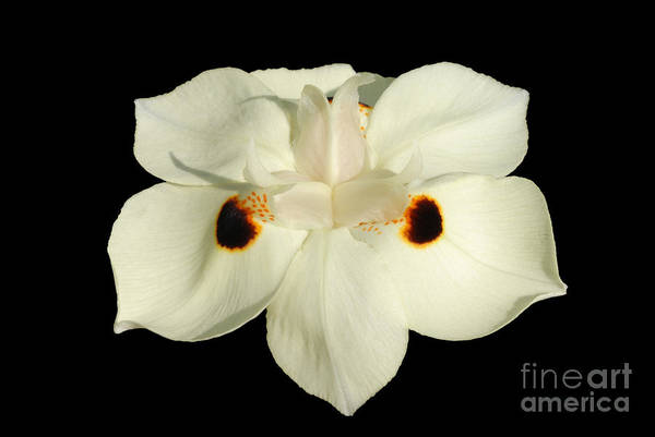 Morea Wall Art - Photograph - Fortnight Lily On Black by Leah McDaniel