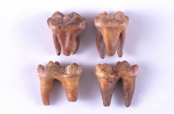 Photograph - Fossil Cave Bear Teeth by Barbara Strnadova