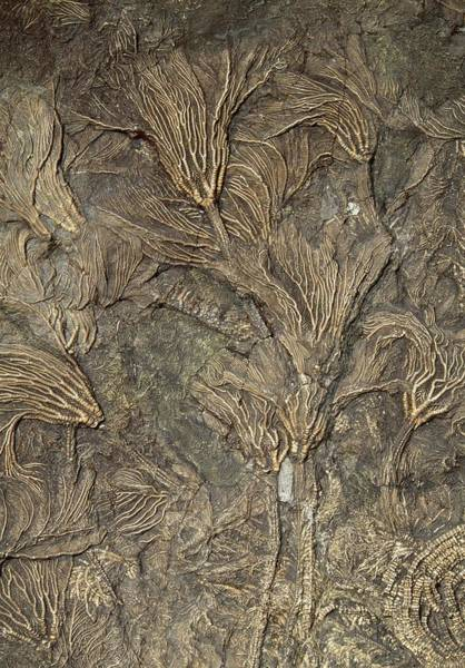 Feather Stars Photograph - Fossil Crinoids by George Bernard/science Photo Library
