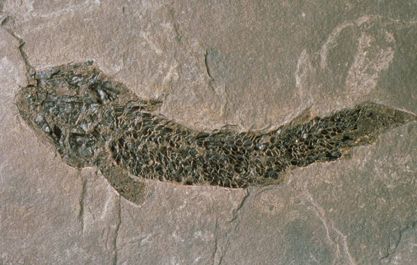 Relative Photograph - Fossil Fish by Sinclair Stammers/science Photo Library