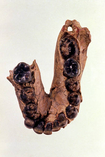 Oh Wall Art - Photograph - Fossil Jawbone Of Homo Habilis (oh7) Type Specimen by John Reader/science Photo Library