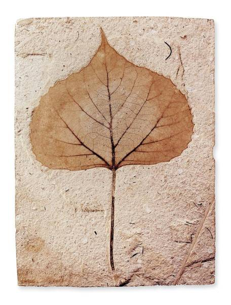 Wall Art - Photograph - Fossil Leaf by Natural History Museum, London/science Photo Library