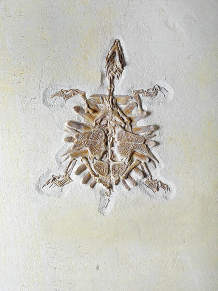 Turtle Photograph - Fossil Of African Softshell Turtle by Dorling Kindersley/uig