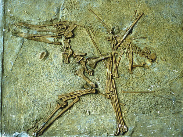 Wall Art - Photograph - Fossil Remains Of The Pterodactyl by Sinclair Stammers/science Photo Library.