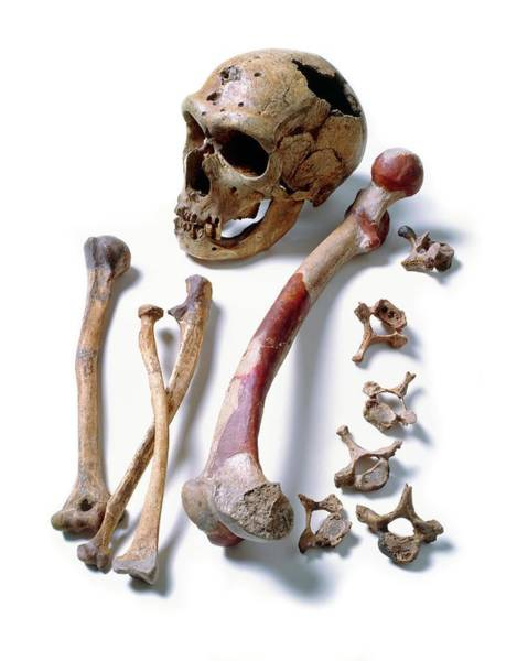 Chapelle Photograph - Fossil Skull & Bones Of Neanderthal Man by John Reader/science Photo Library