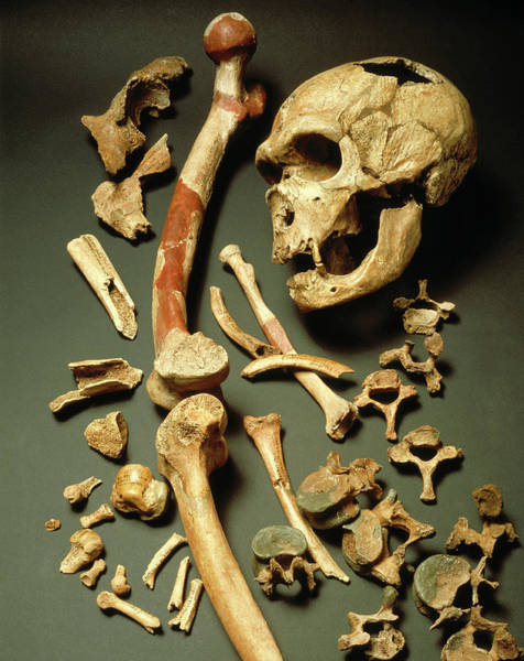 Chapelle Photograph - Fossil Skull And Bones Of Neanderthal Man by John Reader/science Photo Library