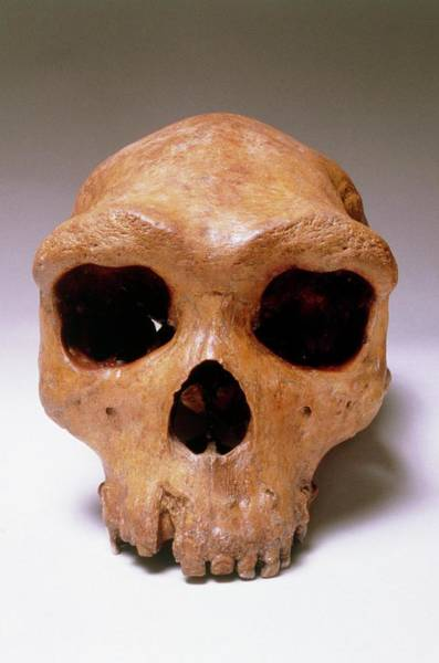 Archaic Photograph - Fossil Skull Of Rhodesia Man by John Reader/science Photo Library