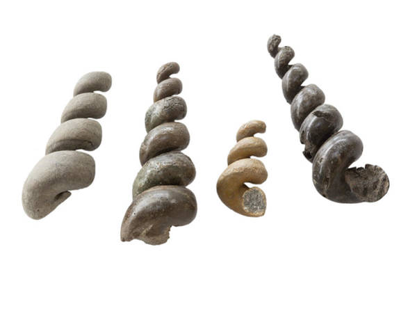 Delaware Photograph - Fossil Turritella Casts by Science Stock Photography