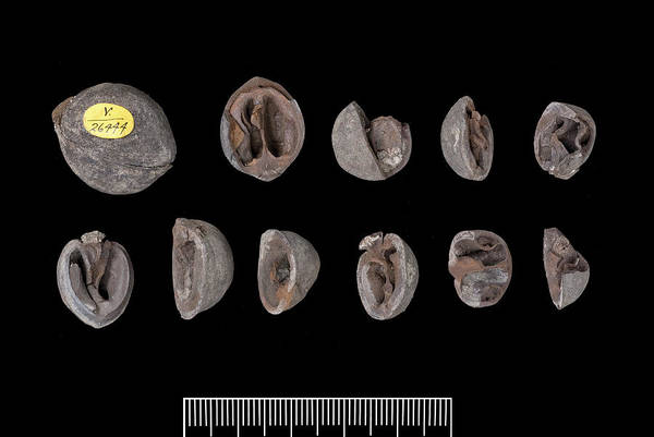 Walnut Photograph - Fossil Walnuts by Natural History Museum, London/science Photo Library