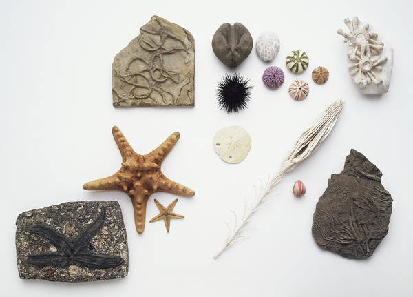 Juxtaposition Photograph - Fossilised And Modern Echinoderms by Dorling Kindersley/uig