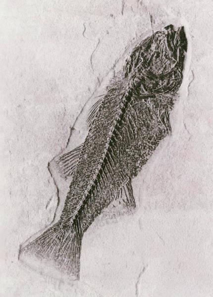 Palaeontology Wall Art - Photograph - Fossilised Fish by Daniel Sambraus/science Photo Library