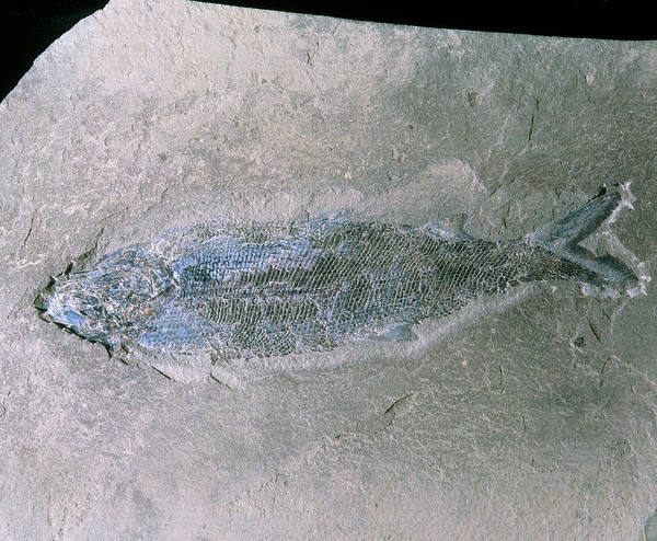 Palaeontology Wall Art - Photograph - Fossilised Fish by Sinclair Stammers/science Photo Library