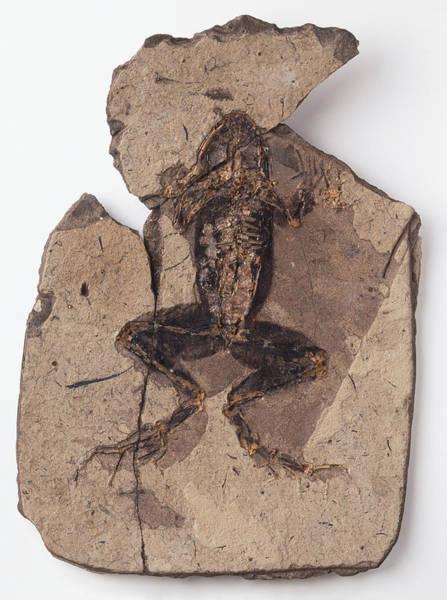 Evolution Photograph - Fossilised Frog by Dorling Kindersley/uig