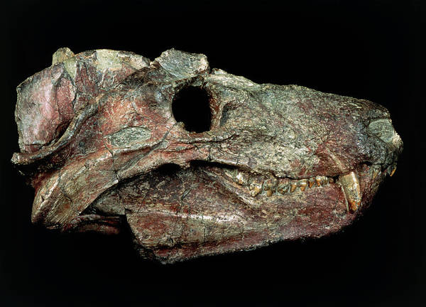 Palaeontology Wall Art - Photograph - Fossilised Head Of Cynognathus Crateronotus by Sinclair Stammers/science Photo Library