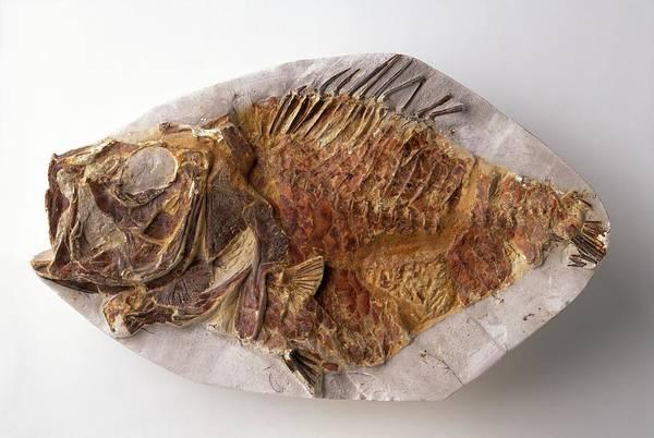Cretaceous Wall Art - Photograph - Fossilised Hoplopteryx by Dorling Kindersley/uig
