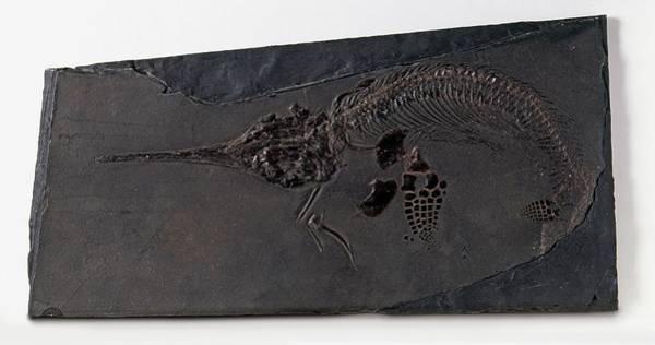 Cretaceous Wall Art - Photograph - Fossilised Mixosaurus by Dorling Kindersley/uig