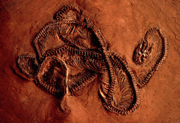 Palaeontology Wall Art - Photograph - Fossilised Remains Of A Snake by Peter Menzel/science Photo Library