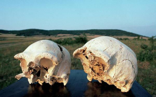 Wall Art - Photograph - Fossilised Skulls by Javier Trueba/msf/science Photo Library