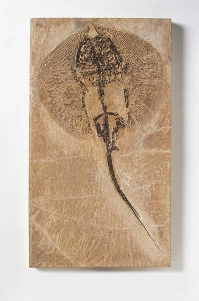 Extinct Wall Art - Photograph - Fossilised Stingray by Dorling Kindersley/uig